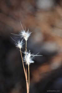 an extreme close-up photo of three thin stalks with puffy white tops