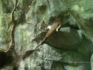 A bobcat lays on a ledge