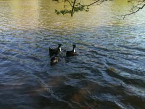 Three ducks swimming in a lake